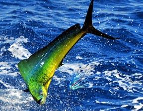 Mahi mahi fishing virginia beach fishing charters deep for Deep sea fishing va beach