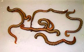 Bloodworms Work Best For Catching Chesapeake Bay Spot