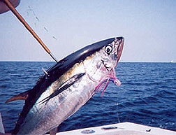 Tuna how 1 virginia beach charter boats and fishing reports for Lynnhaven inlet fishing report