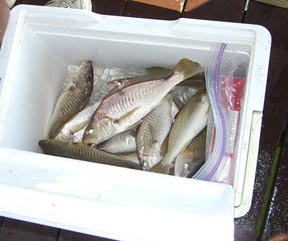 Virginia inshore bay report virginia beach fishing for Lynnhaven fishing pier report