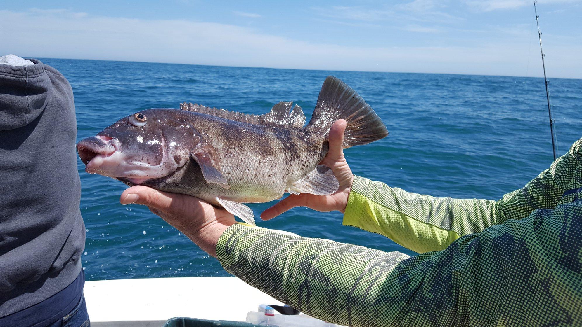 Virginia saltwater fishing report tautogs flounder for Northeast saltwater fishing reports